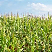USDA releases corn crop impact of wet spring_3513348643654028435