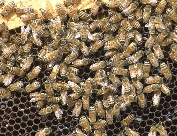 Honeybee Population_ Bee Counts Drastically Dropping From Cold Winter_-59334346764304235