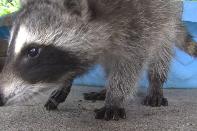 Raccoon Baby 1_5458318372281599005