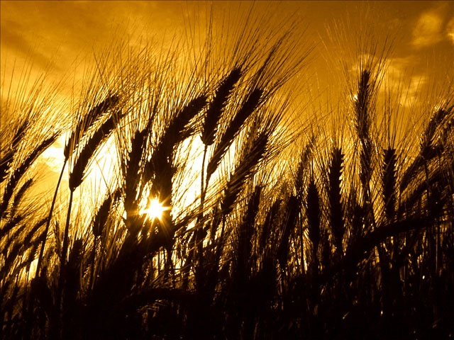 wheat_1508874479976.jpg