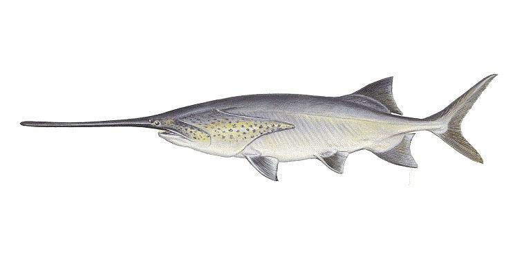 Paddlefish_1545166871356.jpg