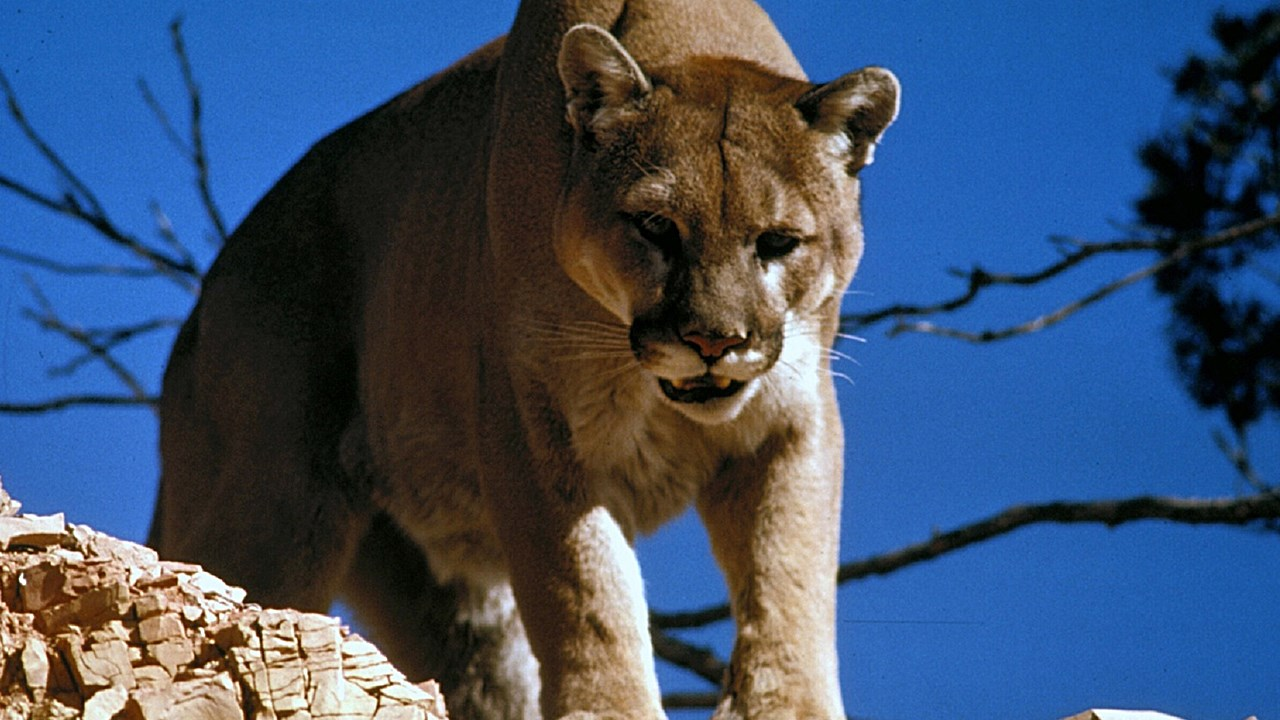 Mountain lion -- Photo Pixabay