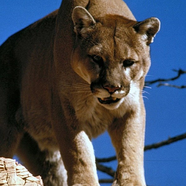 Mountain lion -- Photo Pixabay