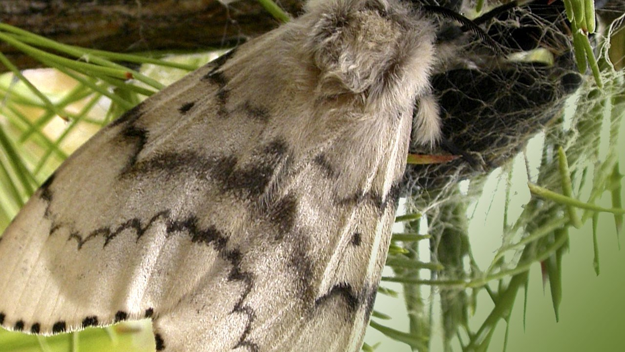 Gypsy Moth asdf 1_1556558764370.jpg.jpg