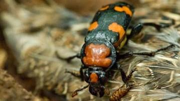 American burying beetle, giant carrion_1556733313424.jpg.jpg
