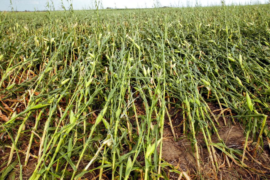 iowa storm crop damage 8.10.20 AP-ed